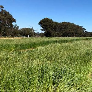 Phantom Ryegrass at Bell Pasture Seeds