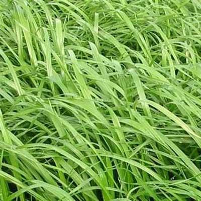 Zoom Ryegrass