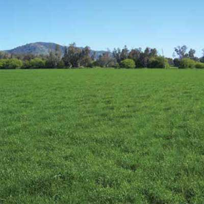 Bell Pasture Seeds Ryegrass Awesome