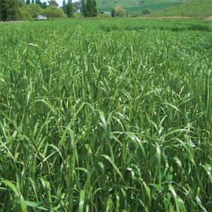 Bell Pasture Seeds Ryegrass Fantastic