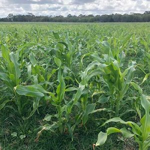 BMR Grazing Maize