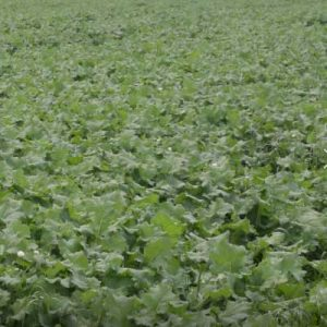 Pillar Forage Rape