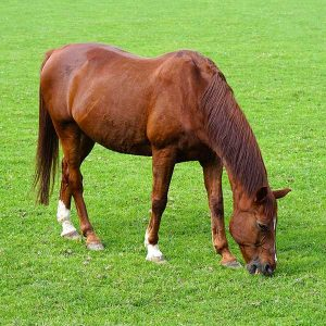 Equine Grazing Mix - Bell Pasture Seeds