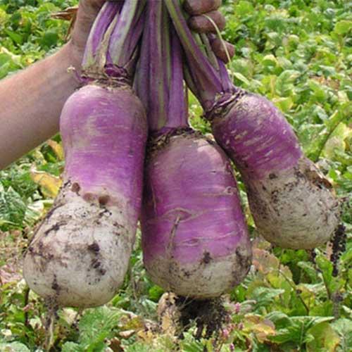MPT Turnip