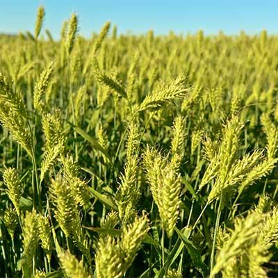 Harpoon Forage Barley