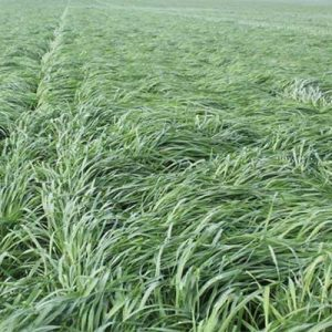 Prine Annual Ryegrass
